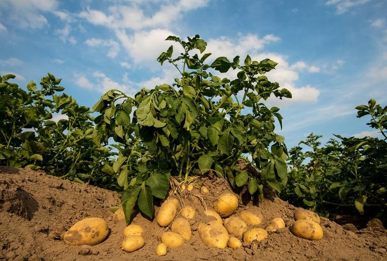 Das Bild soll zeigen wie eine Kartoffelpflanze aussieht