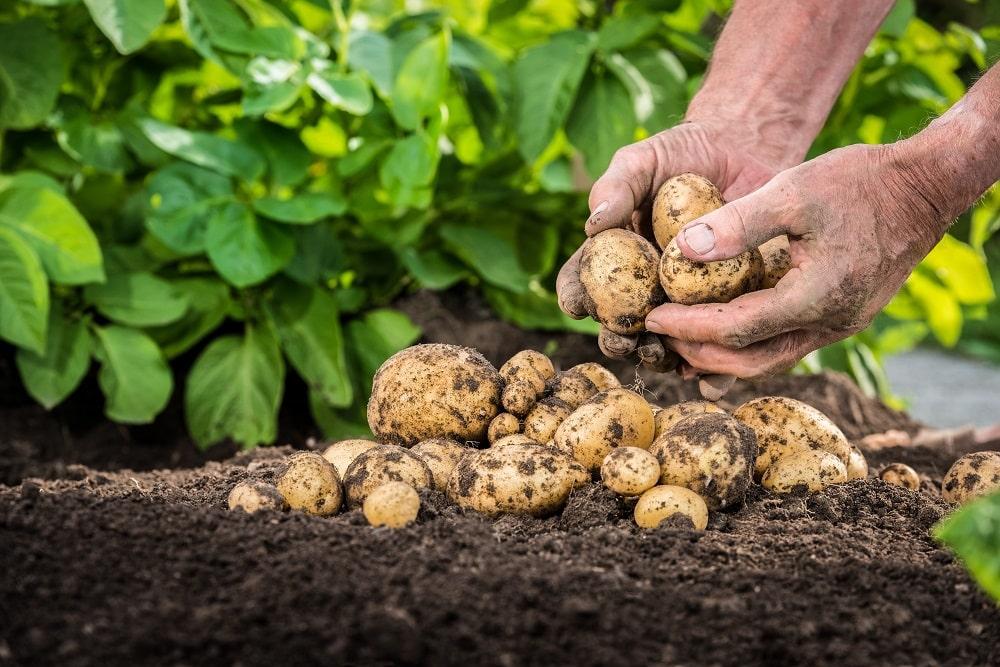 Frische Kartoffeln ernten