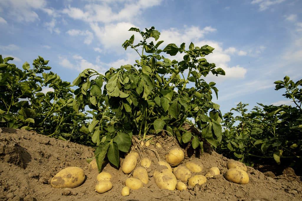 Bild von Kartoffeln in der Erde